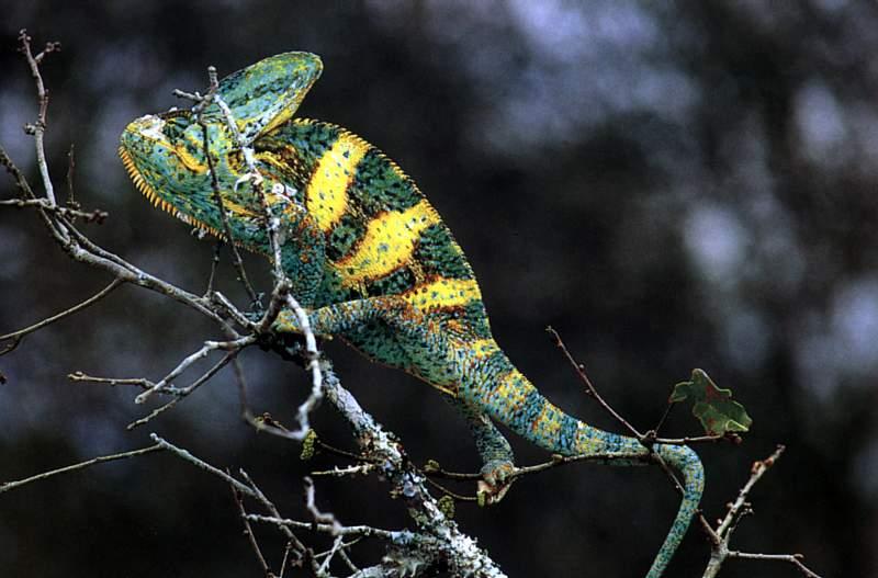 одним частым хамелеон животное как он маскируется где обитает ваши
